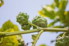 Noni fruit on tree Royalty Free Stock Photo