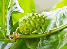 Noni fruit on the tree Stock Image