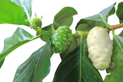 Noni fruits Royalty Free Stock Photography