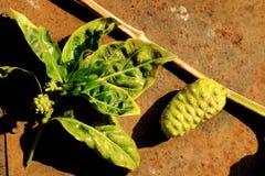 Noni frukt Royaltyfri Fotografi