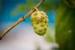 Noni frukt på träd Royaltyfri Fotografi