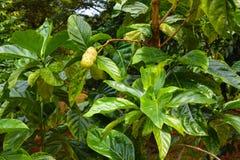 Noni Morinda citrifolia树和果子  免版税库存图片