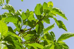 Noni Tree Branches Against Sky Background stock photos
