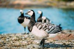 Nonnengans, Branta Leucopsis, Feral Goose On Rock Stockfoto