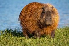 Nonnismo di capybara dalla riva del lago fotografia stock