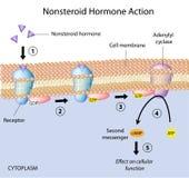 Nonsteroid hormones action Stock Photo