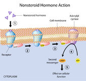 Nonsteroid hormonuppgift Arkivfoto