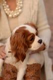 Nonszalancki królewiątka Charles spaniela pies jest siedzący na kobiety patrzeć i podołku Zdjęcie Royalty Free
