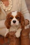 Nonszalancki królewiątka Charles spaniela pies jest siedzący na kobiety podołku i patrzeć kamerę Zdjęcia Stock