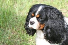 Nonszalancki królewiątka Charles spaniela pies z wiszącymi ucho patrzeje w fotografia royalty free