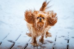 Nonszalancki królewiątka Charles spaniela psa runnung w zimie zdjęcie stock