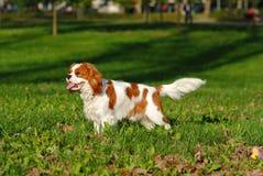 Nonszalanckich królewiątka Charles spaniela potomstw psi pozować dla wystawy w parku Zdjęcie Stock