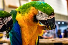 NONTHABURI,泰国- 10月01 :五颜六色的成人金刚鹦鹉鹦鹉f 库存照片