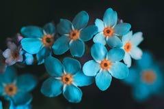 Nontiscordardime, miosotis su un fondo nero Bei fiori blu luminosi con un primo piano medio giallo Macro, superiore fotografia stock