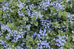 Nontiscordardime siberiano di grande o di bugloss in primavera Fotografia Stock