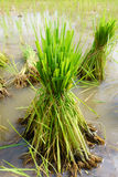 Nontoxic rice seedling of Thai farm Royalty Free Stock Image