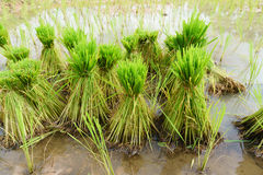 Nontoxic rice seedling of Thai farm Stock Photos