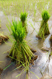 Nontoxic rice seedling of Thai farm Royalty Free Stock Photos