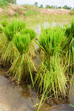 Nontoxic rice seedling of Thai farm Royalty Free Stock Images