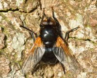 Noon fly (Mesembrina meridiana). Large fly in the family Muscidae, at rest showing orange coloration at base of wings Stock Photos