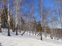 Noon in the Siberian forest Royalty Free Stock Photos