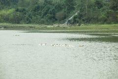 Noong kaczka na jeziorze i jezioro Obrazy Stock