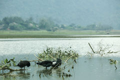Noong kaczka na jeziorze i jezioro obraz stock