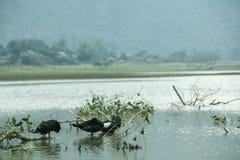 Noong kaczka na jeziorze i jezioro obrazy royalty free