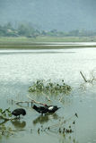 Noongmeer en eend op meer Stock Afbeeldingen