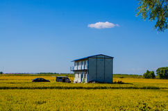 A house in the Rice field under blue sky Royalty Free Stock Image