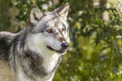 Noordamerikaans Gray Wolf, Canis Lupus Stock Foto's
