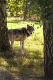 Noordamerikaans Gray Wolf, Canis Lupus Stock Foto