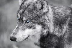 Noordamerikaans Gray Wolf met Blauwe Ogen Royalty-vrije Stock Afbeeldingen