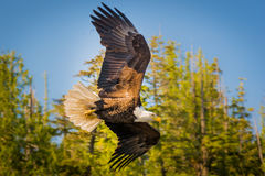 Noordamerikaans Kaal Eagle in medio vlucht Royalty-vrije Stock Afbeeldingen