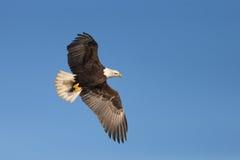 Noordamerikaans Kaal Eagle Soaring Royalty-vrije Stock Afbeeldingen