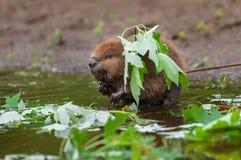 Noordamerikaanse Bever (Bevercanadensis) Kit Stands Under Leaf royalty-vrije stock foto's