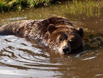 Noordamerikaanse bruin draagt badend Stock Afbeeldingen
