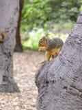 Noordamerikaanse eekhoorn die aardnoten eten royalty-vrije stock foto