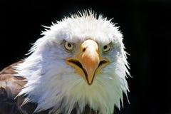 Noordamerikaanse kale adelaar royalty-vrije stock foto