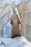 Noordamerikaanse Rivierotter (Lontra-canadensispacifica) Stock Fotografie