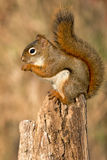 Noordamerikaanse rode eekhoorn Royalty-vrije Stock Afbeelding