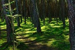 Noordelijk Forest Contrastingly Lit door Zon Stock Fotografie
