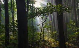 Noordelijk Forest Sunrise royalty-vrije stock foto's