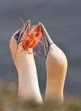 Noordelijk ganetpaar Stock Foto's