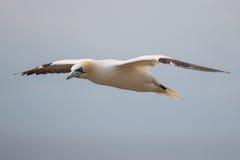 Noordelijk Jan-van-gent die weg van de Saltee-Eilanden in Ierland vliegen Royalty-vrije Stock Foto's