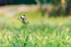 Noordelijk Klauwier of de Slager Bird, Lanius-excubitor, Groot Grey Gray Shrike op een natuurlijke toppositie tegen een natuurlij royalty-vrije stock afbeelding