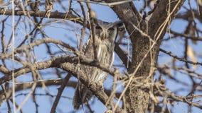 Noordelijk wit-Onder ogen gezien Owl Looking Forward royalty-vrije stock afbeeldingen