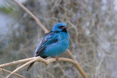 Noordelijke Blauwe Dacnis (tanager) Royalty-vrije Stock Foto