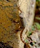 Noordelijke Curlytail-Hagedis stock afbeeldingen