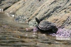 Noordelijke die Kaartschildpad door de rand van het water uit wordt uitgerekt die in de zon zonnebaden Georgische Baai, Canada royalty-vrije stock foto